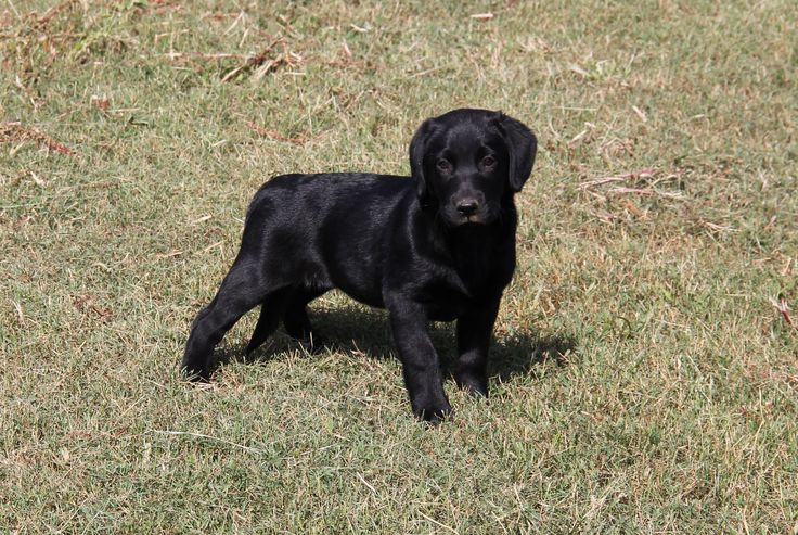 Black Bristish British Lab puppies for sale Alabama