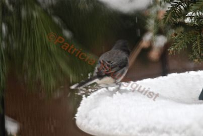 """DARK-EYED JUNCO ENJOYING THE SNOW """"ACCUMULATION""""  IN MY GARDEN! IMAGE TWO OF 3 FEATURED IN A REPLY TO A COMMENT ON AN HT POST @ http://www.hometalk.com/2979052/on-keeping-a-virtual-garden-notebook"""