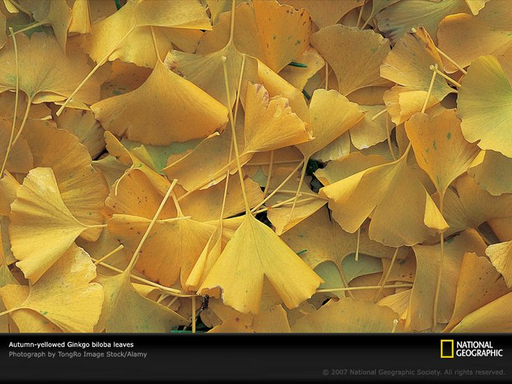 VIDA Foldaway Tote - Autumn Ginkgo by VIDA 32MMgt