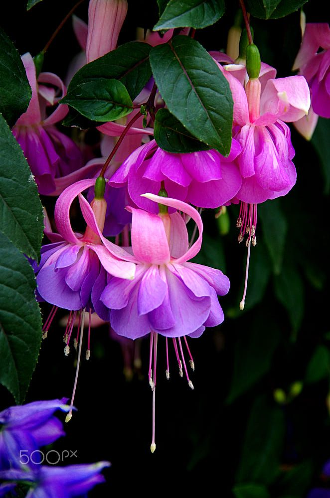Back To The Fuchsia By David Mcmahon On 500px Fuchsia Flowers Amazing Flowers Fuchsia Flower