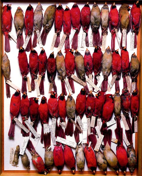 a collection of red specimensTattoo Ideas, Terry O'Neil, Birds Photography, Fields Museums, Dead Things, Terry Evans, Dead Birds, New Tattoo, Birds Cardinals