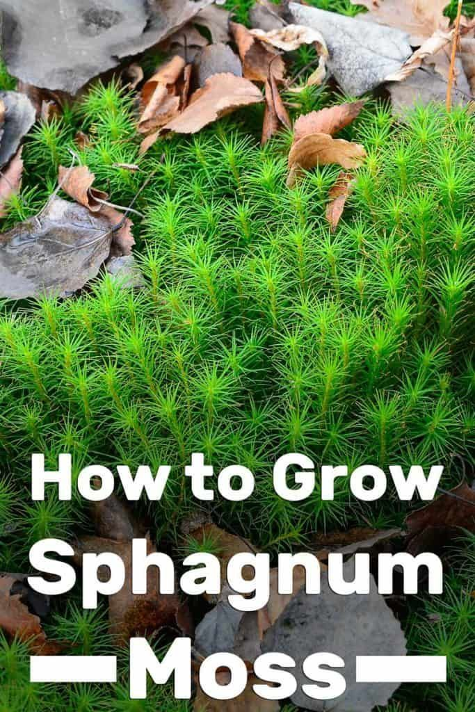 How To Grow Sphagnum Moss Garden Tabs Garden Grow Moss Sphagnum Tabs In 2020 Moss Garden Moss Growing Moss