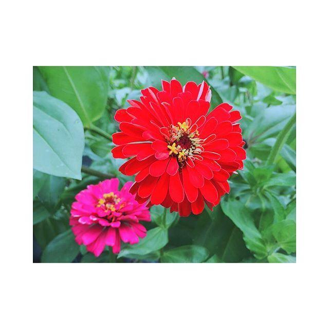 【___m_stitch】さんのInstagramをピンしています。 《. . . 2016. 08. 24 (wed) . . 朝からお散歩してきた〜! お花いっぱい咲いてた🌼💓 . . #0824 #walking #flower #garden #oiwake #sunny #summer #vacation #red #pink #beautiful #morning #朝 #お散歩 #瀬谷市民の森 #追分広場 #花 #きれい #赤 #ピンク #森 #自然 #暑い #🌞 #🌼 #🐵 #💓 #✨》
