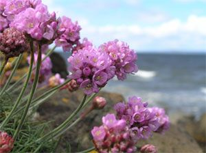 Coastal Flowers on rocks near Gullane Beach