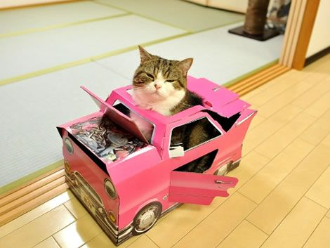 maru the japanese cat | Watch Maru the large Scottish Fold box-loving cat from Japan as he ...