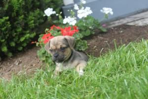 Jug Puppies For Sale in Atglan Pa http://www.network34.com/dogsbreed/jug-puppies-for-sale-in-pa/