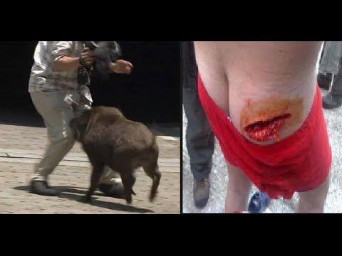 Wild Boar Attacks Human Wild Boar Attac...