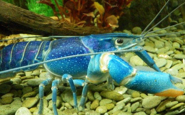 Blue Lobster http://wallpaperspal.com/blue-lobster-wallpaper/