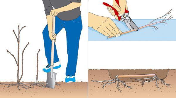 HImbeeren Vermehrung - Wurzel im Herbst abstechen, ausgraben, in 10cm lange Stücke teilen, im Abstand von ca 25-30cm, 10cm tief einpflanzen. Über Winter mit einer Mulch oder Herbstlaubschicht vor dem Durchfriehren schützen