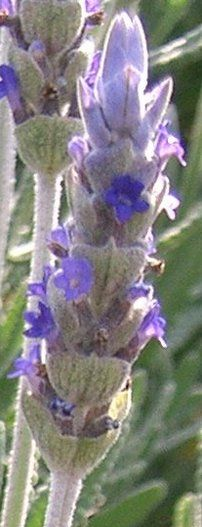 French Lavender dentata leaves are grayish green with a beautiful serrated ...    everything-lavender.com