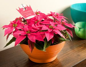 Princettia reminds people with breast cancer that with nuturing and support, their lives will bloom again. Already, more than 200,000 Princettia plants have been sold across Australia. Princettia Pink Lace will be released for Christmas. A wonderful living gift, for someone you love.