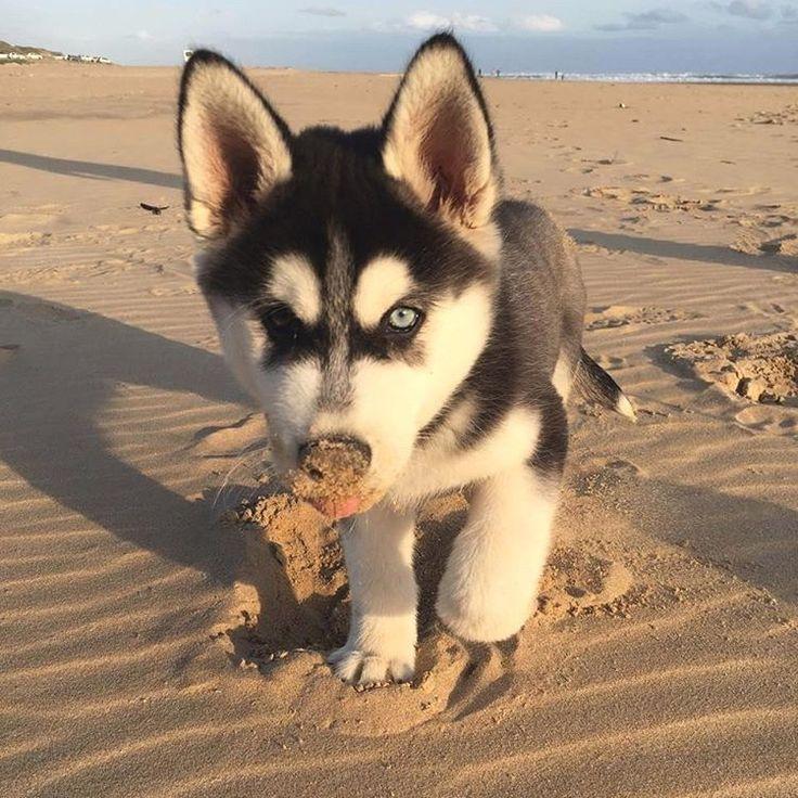 Siberian Husky Beach Puppy