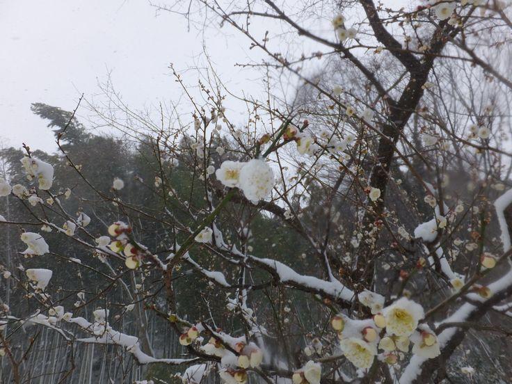 雪と梅(その12)