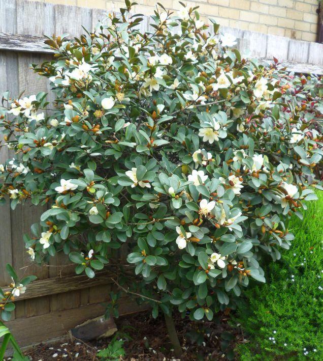 Michelia yunnanensis – (Michelia)