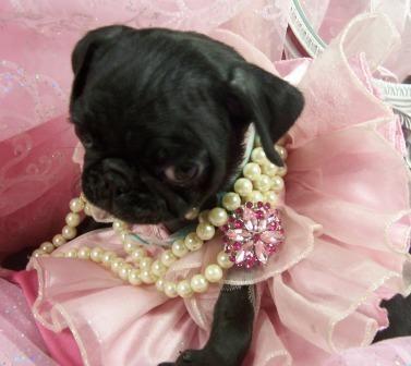 Precious little princess #pug http://www.puppiesforsalesite.com/images/images7/pug3.jpg