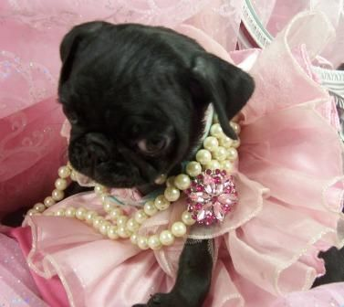 lil puggie!: Pugs Puppies, Dogs, Cute Animal Dresses Up, Princesses Pugs, Group Boards, Cute Dresses, Pet, Beautiful Queen, Little Princesses
