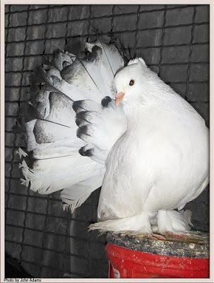white indian fantail pigeons