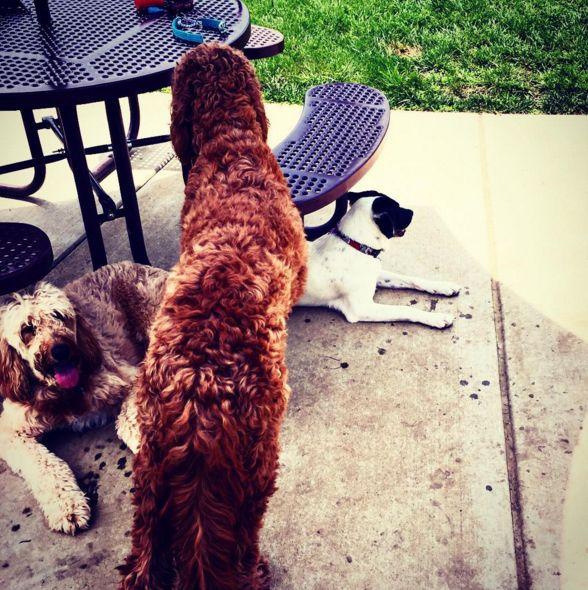 Socializing at Kitun Dog Park! - St. Louis, MO - Angus Off-Leash #dogs #puppies #cutedogs #dogparks #stlouis #missouri #angusoffleash