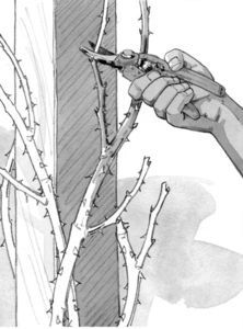 FISKARS Blog Jardin Comment tailler un rosier grimpant_2