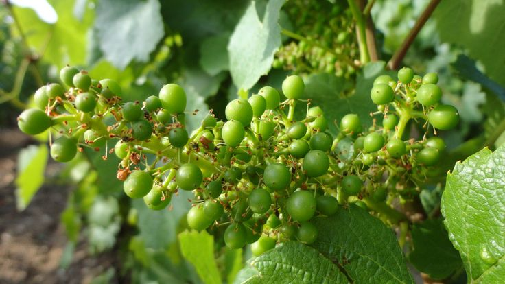 Nouaison#Vignoble - Champagne Leroy-Meirhaeghe
