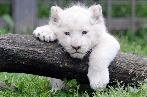 Trois bébés lions blancs effectuent leur première sortie !    Plus d'infos en cliquant sur l'image            http://www.leparisien.fr/insolite/trois-bebes-lions-blancs-effectuent-leur-premiere-sortie-18-04-2013-2737995.php