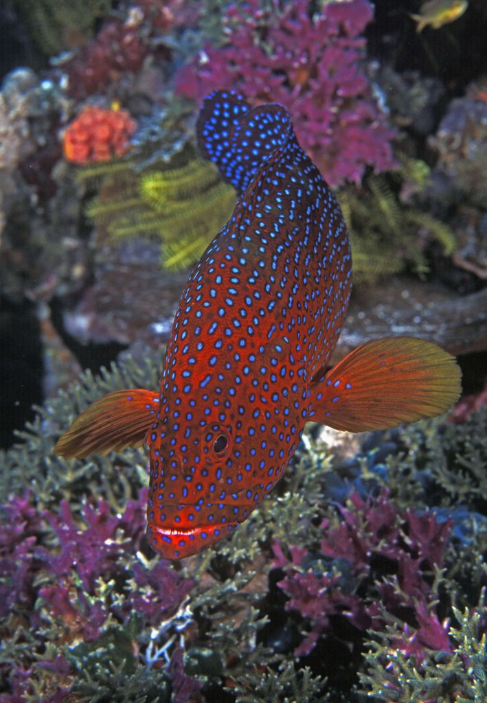 Coral Trout. Indonesia-Papua-Raja Ampat. A common but beautiful fish found through-out the Indo-Pacific. Photographed by ci.sigapore2 on 12th September 2007