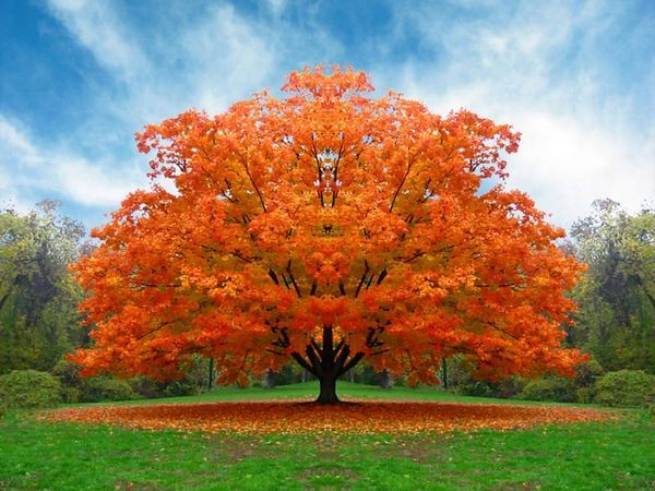A perfectly shaped tree in the fall with golden leaves forming a circle underneath. So beautiful!