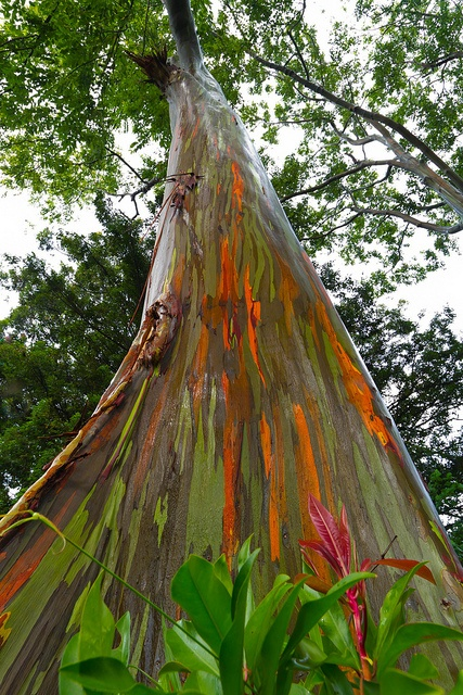 Driving The Road To Hana and looking at these rainbow Eucalyptus Trees