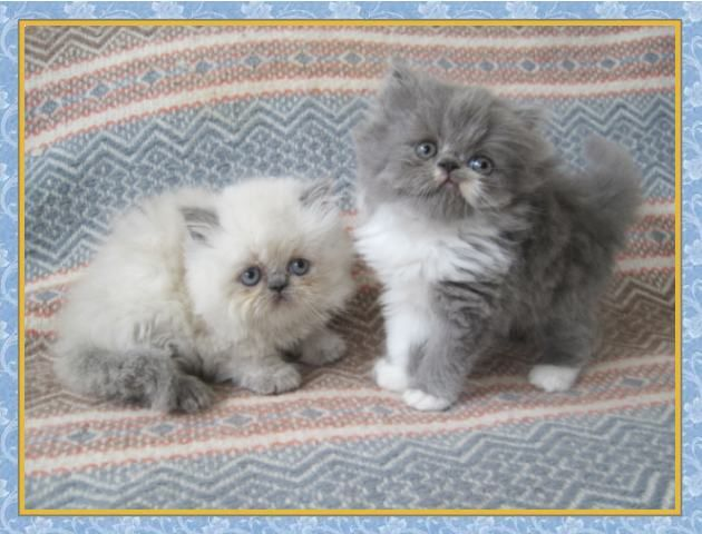 Himalayan Kittens for sale - New Jersey - Blue Point One Day Old ...