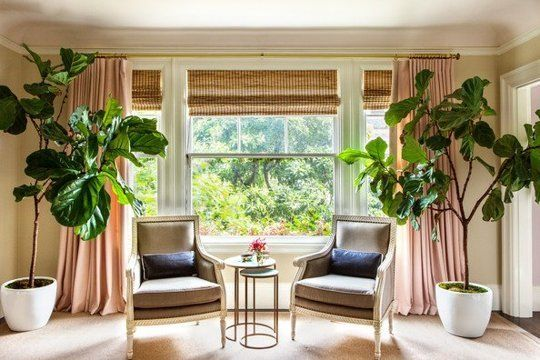Tips for Growing Fiddle Leaf Figs. I would like one or two of these in my house please.