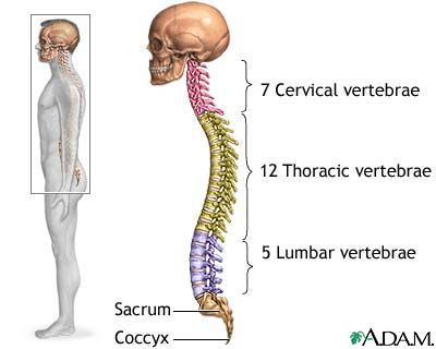 25+ best ideas about thoracic vertebrae on pinterest | skeleton, Skeleton