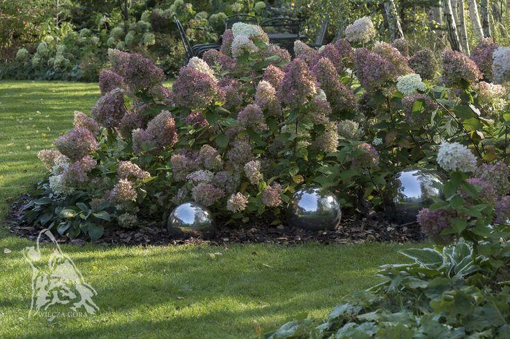 "Hydrangeas panculata ""Limelight""."