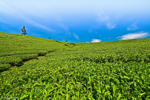 Tea Plantation, Lembang, Bandung, Indonesia
