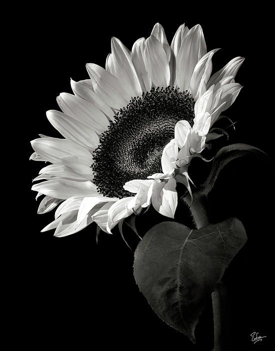 Sunflower In Black And White   Black and white, Sunflowers ...