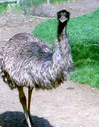 An Emu is a large bird to heavy to fly. It has thick brown and black feathers. Emus weigh about 100 pounds and are close to five and a half feet tall! Emus usually eat small plants and fruits, but they occasionally eat farmers crops.