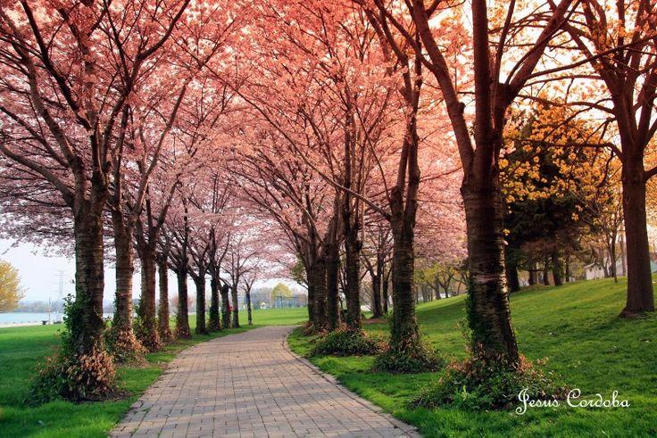 Spring time. Cherry Blossoms at Spencer Park. Burlington Ontario Canada