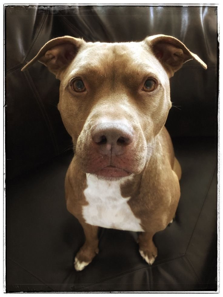 2968 best images about PitBull on Pinterest ...
