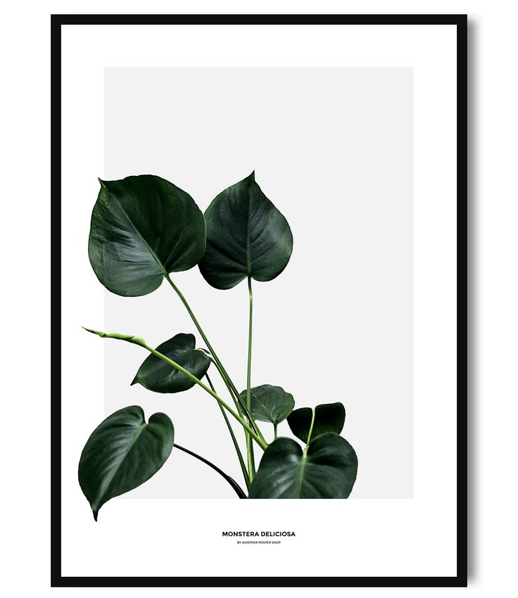 the 25 best ideas about monstera deliciosa on pinterest philodendron monstera cheese plant. Black Bedroom Furniture Sets. Home Design Ideas
