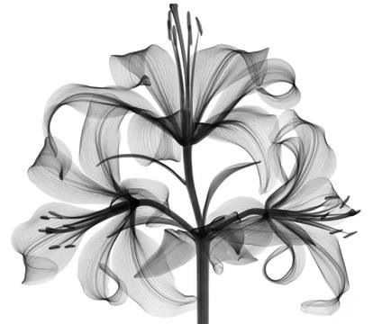 x ray tiger lilly tiger lilies pinterest tigers tiger lilies and x rays. Black Bedroom Furniture Sets. Home Design Ideas