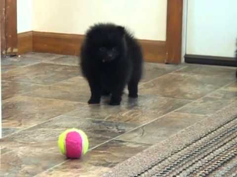 ▶ Black Pomeranian Puppies - YouTube