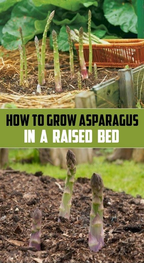 How To Grow Asparagus In A Raised Bed Organic Gardening