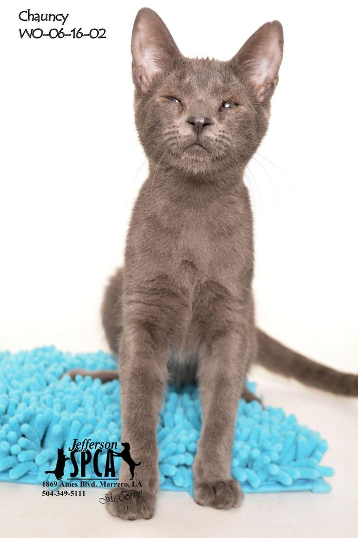 1118 best RUSSIAN BLUE images on Pinterest