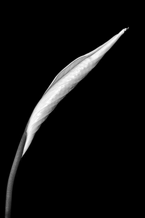 Peace Lily photograph by Jeff Burton