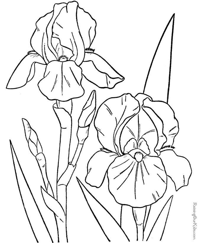 best line drawings of irises images on, Natural flower