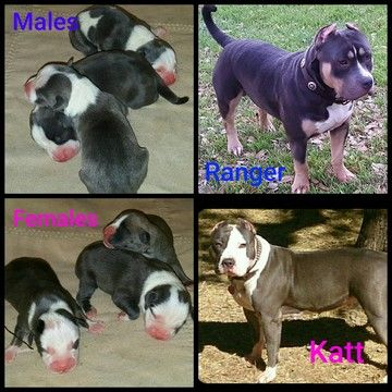 American Bully puppy for sale in CANYON LAKE, TX. ADN-31473 on PuppyFinder.com Gender: Male. Age: Under 1 Week Old