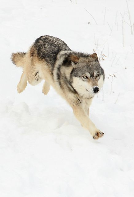 for my wolf tattoo but black, with a snarl face and tail up