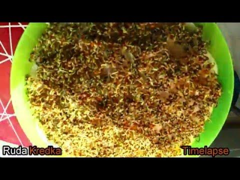How to grow watercress? Time-lapse movie recorded for 7 days. - YouTube
