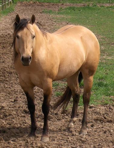 Buckskin quarter horse stallion - photo#14