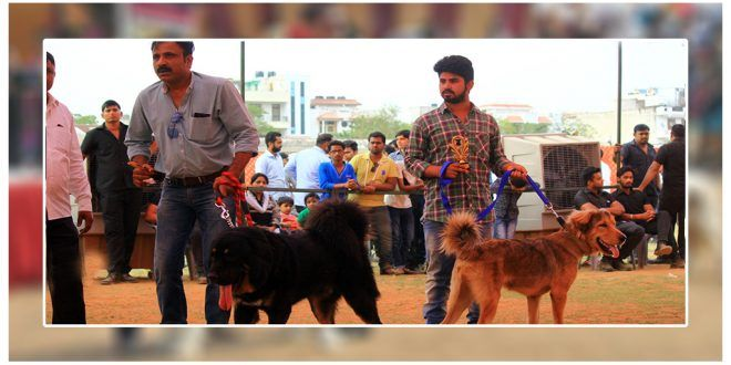 Amritsar Kennel Club organized its 42nd & 43rd all Breed Championship Dog Show in Amritsar. Dogs of all breeds from Chinese Shar Pei to Rottweiler, German shepherd to Saint Bernards, all looked dressed up and ready to take part in the #dogshow. #dogexpress