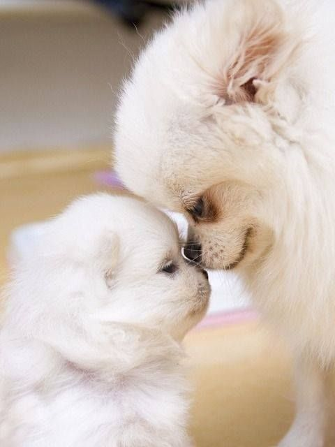 Pomeranian mama with baby,I really think there is no statement for this pic,just plain LOVE,thats what POMS are made of!